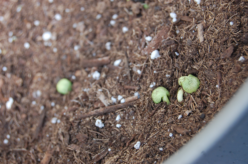 Sprouts!  Baby sprouts!