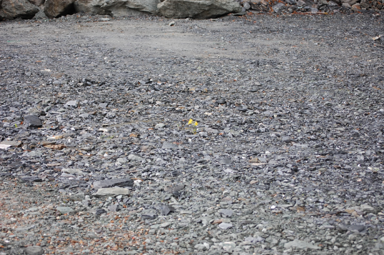 See that little yellow dot?  They are flowers.  In the middle of a gravel lot.  Nothing else.  Just four small yellow flowers -a type that I have never seen before.