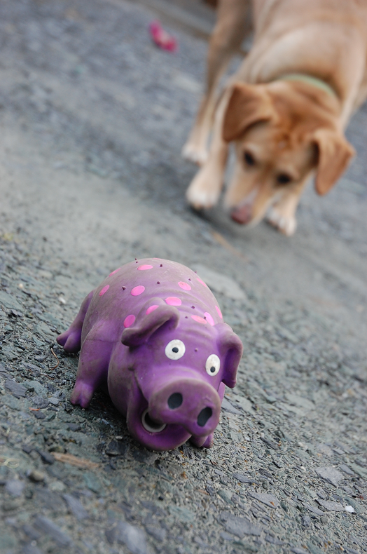 Sniffin' out the pig (I think pig looks slightly terrified here -ha!)